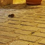 Villaviciosa llena de ratas